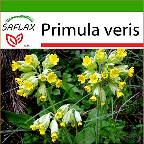 SAFLAX - Heilpflanzen - Schlüsselblume - 100 Samen - Mit Substrat - Primula veris