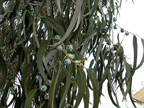 Eucalyptus globulus, eucalipto blanco, árbol 50 semillas