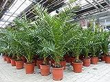 Palme 130 - 160 cm, XL Phoenix canariensis, kanarische Dattelpalme, winterhart