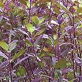 #8: Plant House Shyama Tulsi-Krishna Tulsi 50 Best Quality Seeds