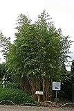 Phyllostachys aureosulcata spectabilis - Zickzackbambus - 200-250 cm