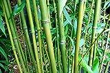 Phyllostachys bissetii - Bissett Bambus - verschiedene Größen (180+cm - 5ltr. - 3-6 Triebe)