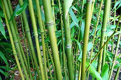 Phyllostachys bissetii - Bissett Bambus - verschiedene Größen (100+cm - 2 ltr. - 1-3 Triebe)