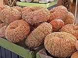Go Garden 10 Semillas: Galeux D' Eysines Squash, (cacahuete calabaza), Cucurbita maxima, las semillas
