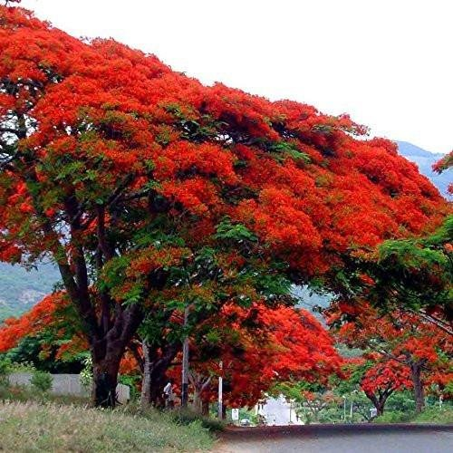 Royal Poinciana Flame Tree Seeds (Delonix regia) 3+ Rare Tropical Tree Seeds Packed in FROZEN SEED CAPSULES for the Gardener & Rare Seeds Collector - Plant Seeds Now or Save Seeds for Years