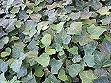 20 Stück gemeiner Efeu Kletterpflanzen (Hedera helix) Topfware 20-30 cm