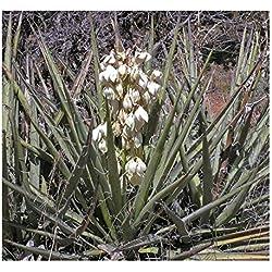 Yucca baccata var. baccata - Bananen Yucca - blaue Yucca - 5 Samen