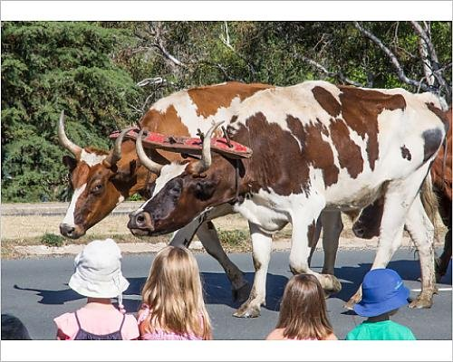 photographic-print-of-young-children-in-awe-of-massive-bullocks