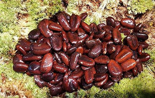 15 Asimina triloba Samen, Indianerbanane, Paw Paw Seeds, Import aus USA Februar 2018