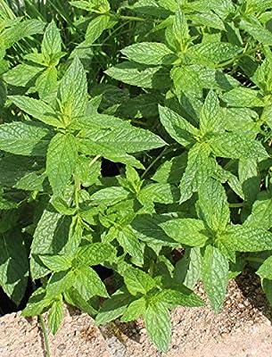 500 Samen Grüne Minze - weit verbreitet, mehrjährig von samenfritze auf Du und dein Garten