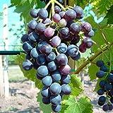Grüner Garten Shop Blauer Muskateller, blaue Traube, pilzfester Wein, gestäbt, ca. 60-100 cm, im 2 Liter Topf