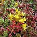 Oreganum - Fetthenne ( Sedum oreganum ) von Lichtnelke Pflanzenversand bei Du und dein Garten