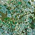 Buntblättriger Efeu, 6 Pflanzen, 9cm Topf von Amazon.de Pflanzenservice auf Du und dein Garten