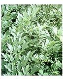 Liebstöckel - Levisticum officinale - 100 Samen