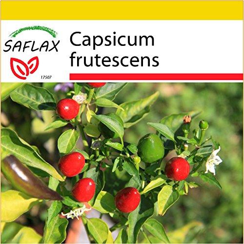 SAFLAX - Kit de culture - Piment Red Finger - 25 graines - Capsicum frutescens