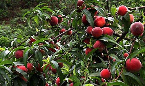 Dwarf Bonanza Pfirsiche, Pfirsichbaum - Pfirsich Samen - Frucht Bonsai Samen - 10 Stück