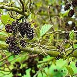 Samen Schwarzerle (Alnus glutinosa) - Saisonware - Zuchtqualität - 5 Samen