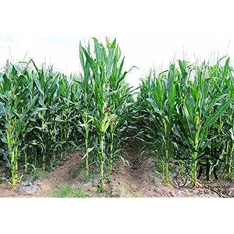 Semi dei generi alimentari Valore Waxy viola di mais per l'impianto di 100 pezzi, semi Happy Farm Annual grano, dolci Zea mays glutinoso mais Semi