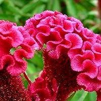 Pittospwer 100 Pcs Mix Color Celosia Crested Cresta di gallo Semi di Garden Easy Growing Flower