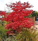Vollmond-Ahorn 5 Samen (Acer Japonicum)