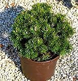 Pinus mugo Mops - Mops-Kiefer/Kugelkiefer - Zwergkonifere langsam wachsend - im 19 cm Topf - sehr winterhart, immergrün schöne Kübelpflanze, Steingartenpflanze
