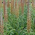 Kleinblütiger Fingerhut - Digitalis parviflora von Baumschule auf Du und dein Garten