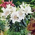 Orientalische Lilie Muscadet von Meingartenshop - Du und dein Garten