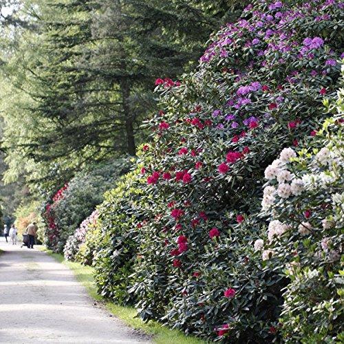 Rhododendron-Set, 2 Liter, je 1 Pflanze rot/rosa, violett/blau, creme/weiß blühend