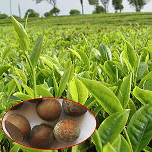 Homeofying 5Pcs Organic Healthy Fresh Green Tea Tree Seeds Yard Garden Farmland Plant