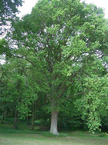quercus-robur-english-oak-traditional-indigenous-tree-plant-in-9cm-pot