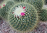 Mammillaria spinosissima known as spiny pincushion cactus . (English Edition)