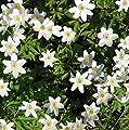 Buschwindröschen Nemorosa - Anemone nemorosa von Baumschulen bei Du und dein Garten