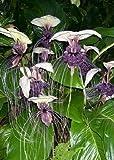 15 semi tropica - fiore bianco pipistrello (tacca integrifolia)-