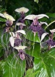 Tropica - Weiße Fledermausblume - 15
