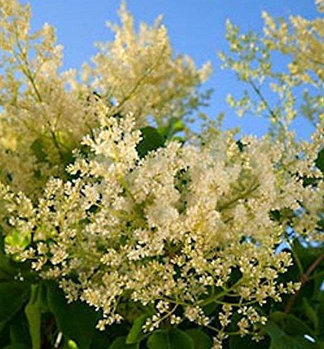 Japanischer Flieder City of Toronto 80-100cm – Syringa reticulata
