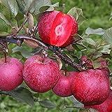 Apfelbaum Malus Baya Marisa - 1 baum