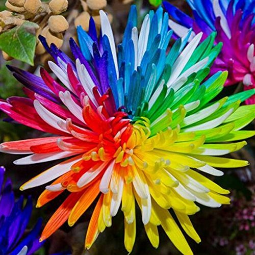 brightup-20-pieces-rainbow-chrysanthemum-seeds-home-garden-rare-flower-seeds-colorful-flower-seeds