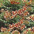 Chinesische Klettertrompete Grandiflora 60-80cm - Campsis grandiflora von Baumschule - Du und dein Garten