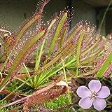 FOReverweihuajz Kap-Sonnentau frischen Samen Drosera Capensis fleischfressende Garten Pflanze pflegeleicht - 100Pcs