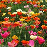 California CALIFORNIAN POPPY MIX - Escholtzia californica - 2,000 FRESH SEEDS ANNUAL FLOWER by Pretty Wild Seeds
