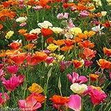 California CALIFORNIAN POPPY MIX - Escholtzia californica - 2,000 FRESH SEEDS ANNUAL FLOWER by Pretty Wild Seeds