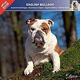 Englische Bulldogge 2019–Kalender AFFIX (linguistik) (English Bulldog)