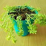#10: Himalayan Flora Nursery Sedum Gold Moss Live Plant