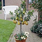 Patio Perfect Patio Pear Tree 7.5L Potted