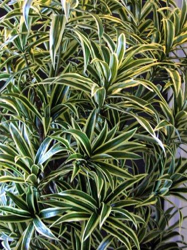 artplants – Deko Dracaena Reflexa Pflanze YASU, Gelb-grün, 150 cm – Kunst Zimmerbaum/Künstlicher Drachenbaum