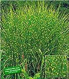 BALDUR-Garten Chinaschilf Zebragras, 1 Pflanze Miscanthus zebrinus strictus Chinagras Ziergras