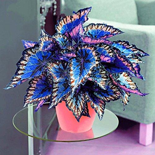 Vobome 100 teile/beutel Coleus Samen Bonsai Blume Blatt Pflanzen Regenbogen Drachensamen Garten Blumensamen -