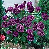 Keptei Samenhaus- 50 PCS Echtes Osiria Rose Samen Bonsai Rose Baum Saatgut Seltener Garten Zierblumen Outdoor Plants winterhart