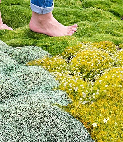00 Stück Moos Samen Bodendecker immergrün Moose Rasen Moosgarten - grüne Pflanze, dekorative Gras für Garten, Bonsai Beet/Wiesen ()