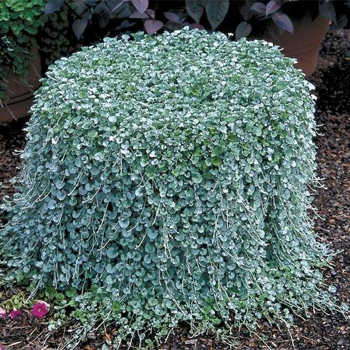 100pcs / Dichondra Repens Rasensamen Geld Gras hängen dekorative Gartenpflanzen tun Blumensamen für Haus Garten